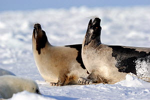 Two Harp seals (Phoca groenlandicus) reacting aggressively towards each other, Magdalen Islands, Gulf of St Lawrence, Quebec, Canada, March 2012 - Eric Baccega