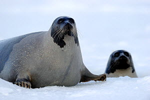 Two Harp seals (Phoca groenlandicus), Magdalen Islands, Gulf of St Lawrence, Quebec, Canada, March 2012 - Eric Baccega