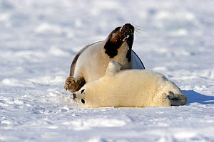 Female Harp seals (Phoca groenlandicus) reacting aggressively towards another female's pup, Magdalen Islands, Gulf of St Lawrence, Quebec, Canada, March 2012 - Eric Baccega