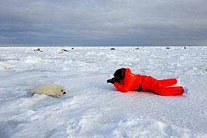 Tourist photographing Harp seal (Phoca groenlandicus) pup on sea ice, Magdalen Islands, Gulf of St Lawrence, Quebec, Canada, March 2012 - Eric Baccega