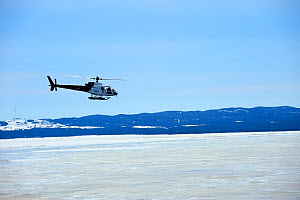 Helicopter bringing tourists to see Harp seals (Phoca groenlandicus) on sea ice, Magdalen Islands, Gulf of St Lawrence, Quebec, Canada, March 2012  -  Eric Baccega