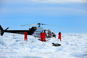 Tourists taking photographs of a Harp seal (Phoca groenlandicus) on sea ice, with helicopter in background, Magdalen Islands, Gulf of St Lawrence, Quebec, Canada, March 2012  -  Eric Baccega