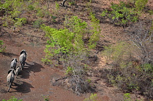 Four African Elephants (Loxodonta africana) seen from the air. Sahelo-Sudanese Biome, W National Park (UNESCO, IUCN & RAMSAR), Niger. Aerial census, May 2011.  -  Thomas Rabeil