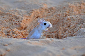 Lesser Egyptian Gerboa (Jaculus jaculus) in the entrance to its burrow. Sahelo-Sudanese Biome, Niger.  -  Thomas Rabeil
