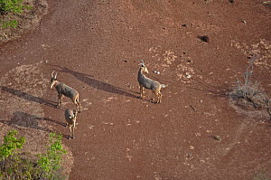 Three Hartebeest (Alcelaphus buselaphus) seen from the air. Sahelo-Sudanese Biome, W National Park (UNESCO, IUCN & RAMSAR), Niger. Aerial census, May 2011.  -  Thomas Rabeil