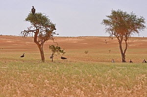 Lappet Faced Vultures (Torgos tracheliotos) and Ruppell's Vulture (Gyps rueppellii) perched and on ground. Dilia Achetinamou, Termit Tin Toumma National Park, Sahelo-Saharan Biome, Niger.  -  Thomas Rabeil