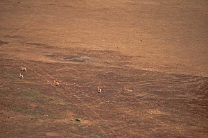 Red-fronted Gazelles (Eudorcas ruffifrons) in open habitat seen from the air. Sahelo-Sudanese Biome, W National Park (UNESCO, IUCN & RAMSAR), Niger. Aerial census, May 2011.  -  Thomas Rabeil
