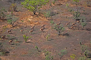 Group of Roan Antelope (Hippotragus equinus) seen from the air. Sahelo-Sudanese Biome, W National Park (UNESCO, IUCN & RAMSAR), Niger. Aerial census, May 2011.  -  Thomas Rabeil