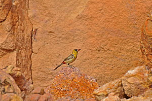 Yellow-breasted Barbet (Trachyphonus margaritatus) perched on rock. Koutous Massif, Sahelo-Sudanese Biome, Niger.  -  Thomas Rabeil