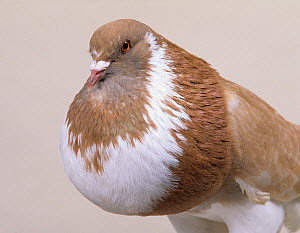 Domestic Pigeon (Ghent Cropper).  -  Yves Lanceau