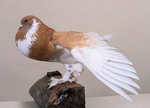 Domestic Pigeon (Ghent Cropper) with wing outstretched.  -  Yves Lanceau