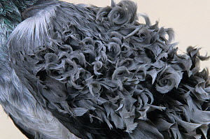 Domestic Pigeon (Frillback) detail of back feathers.  -  Yves Lanceau