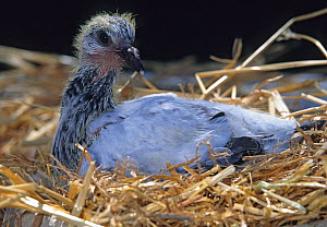 Young domestic Pigeon, 20 days.  -  Yves Lanceau