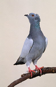 Domestic Pigeon (Crested Soultz) perched.  -  Yves Lanceau