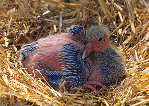 Domestic Pigeon chick / squab, at 10 days.  -  Yves Lanceau