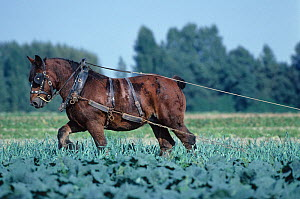 Horse, draughthorse, female carthorse pulling machinery to earth up leeks, France  -  Yves Lanceau