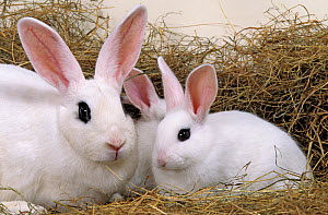 Domestic rabbit, Blanc de Hotot, doe rabbit and two young rabbits, 45 days - Yves Lanceau
