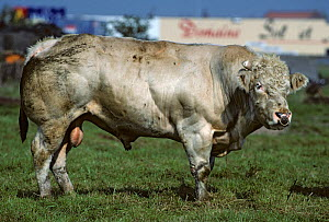 Domestic cattle (Bos taurus) French White-blue cow, bull, France  -  Yves Lanceau
