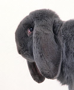 Domestic rabbit, French Lop, Blue, young male, 6 months, studio portrait - Yves Lanceau