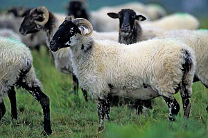 Domestic sheep (Ovis aries), Manech Tete Noire Sheep, flock moving from summer pasture, Pyrenees, France  -  Yves Lanceau