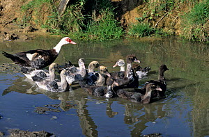 Barbary / Muscovy Duck female with ducklings in water.  -  Yves Lanceau