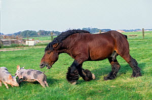 Horse, draughthorse / carthorse, stallion chasing pigs out of its meadow, France.  -  Yves Lanceau