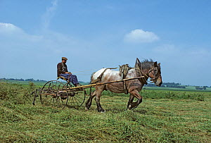 Horse, draughthorse / carthorse, haymaking, turning the cut hay, Berry, France  -  Yves Lanceau