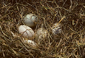 Domestic Duck (Barbary / Muscovy) nest with feathers and eggs.  -  Yves Lanceau