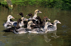 Group of Barbary / Muscovy Ducklings on water. France, Europe.  -  Yves Lanceau
