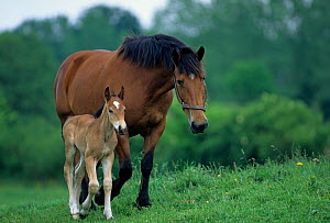 Horse, Cob Normand carthorse / draughthorse, mare walking with foal, France  -  Yves Lanceau