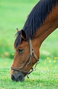 Horse, Cob Normand draughthorse / carthorse, Mare grazing, France  -  Yves Lanceau