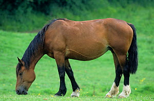 Horse, Cob Normand draughthorse / carthorse, Mare grazing in field, France  -  Yves Lanceau