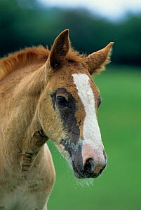 Horse, Cob Normand draughthorse / carthorse, foal, portrait, losing its baby coat, France  -  Yves Lanceau