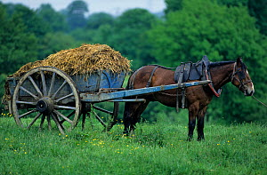 Horse, Cob Normand draughthorse / carthorse pulling cart full of manure, France  -  Yves Lanceau