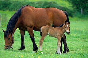 Horse, Cob Normand draughthorse / carthorse, mare and foal grazing in field, France  -  Yves Lanceau