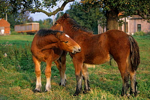 Horse, draughthorse / carthorse, two foals mutual grooming, France  -  Yves Lanceau