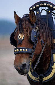 Horse, draughthorse / carthorse, male in harness, France  -  Yves Lanceau