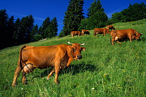 Domestic cattle (Bos taurus) herd of Tarentaise cows grazing on mountain pasture, Alps, France - Yves Lanceau