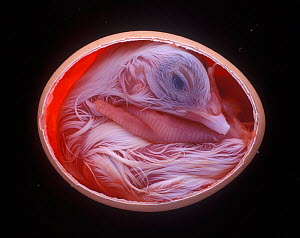 Domestic crossbreed hen (Gallus gallus domesticus), chick embryo developing in egg, chick ready to hatch, 20 days, sequence 10/10 - Yves Lanceau