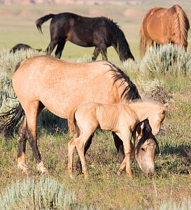 Mustang / wild horses, cremello colt foal Cremesso with grazing mare, McCullough Peak herd, Wyoming, USA, June 2007  -  Carol Walker