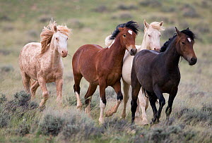 Mustang / wild horses, two second year cremello colts Cremesso and Claro running with two bay colts (Cremosso and Claro, later to be adopted), McCullough Peak herd, Wyoming, USA, June 2009  -  Carol Walker