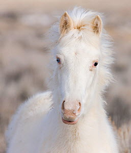 Mustang / wild horse, yearling cremello colt Claro, later adopted,  in thick winter coat, McCullough Peak herd, Wyoming, USA, February 2008  -  Carol Walker