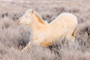 Mustang / wild horse, yearling cremello colt Claro in thick winter coat, stretching, McCullough Peak herd, Wyoming, USA, February 2008  -  Carol Walker