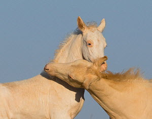 Mustang / wild horse, two cremello colt foals Cremesso and Claro playing, McCullough Peak herd, Wyoming, USA, August 2007  -  Carol Walker