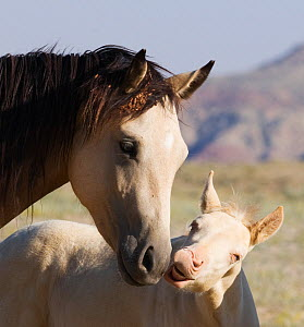 Mustang / wild horse, cremello colt foal Cremesso interacting with yearling filly, McCullough Peak herd, Wyoming, USA, August 2007  -  Carol Walker