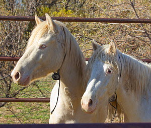 Two third year male cremello Wild horse / mustang colts Cremello and Claro that had been rounded up from a McCullough Peak herd, Wyoming, and put up for adoption, waiting to be transported to new home...  -  Carol Walker