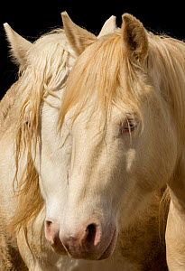 Claro and Cremesso, two third year male cremello Wild horse / mustang colts that had been rounded up from the McCullough Peak herd, Wyoming, and put up for adoption, on their new ranch in Colorado, US...  -  Carol Walker