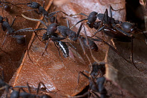 Army ants (Eciton sp.) carrying prey back to the nest, South America - Martin Dohrn