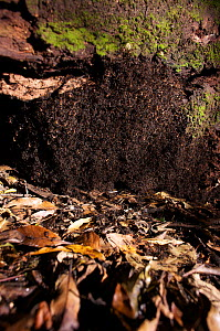 Army ants (Eciton sp) forming a bivouac, a tempory nest formed from the ants bodies, South America - Martin Dohrn