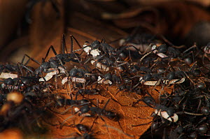 Army ant (Eciton sp.) carrying larvae during migration to a new nest site, South America - Martin Dohrn